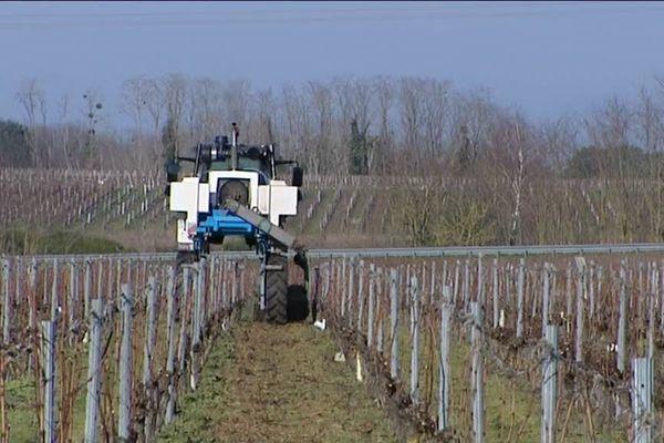 La taille des sarments intégrée au sol : leur broyage constitue un apport de matière organique pour les ceps de vigne. @F3