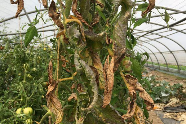 Les feuilles des plants de tomates ont été grillées par les fortes chaleurs et le manque d'eau.