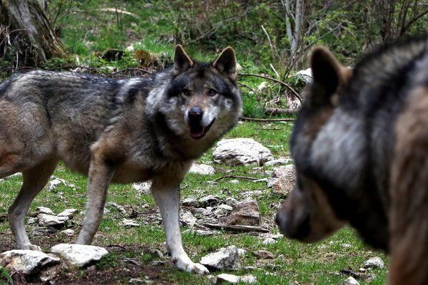 Au Parc animalier des Pyrénées, à Argelès-Gazost, on peut gagner une nuit parmi les loups.