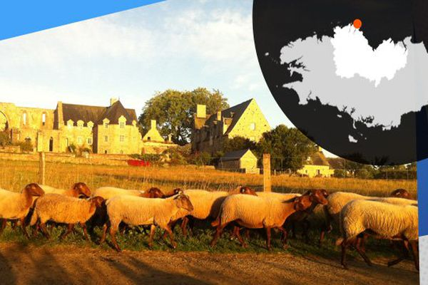 A l'abbaye de Beauport, les moutons servent à entretenir les terres.