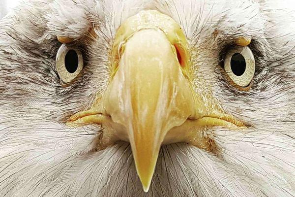 """Sherkan, pygargue à tête blanche, Haliaeetus leucocephalus, plus communément appelé """"aigle américain"""""""
