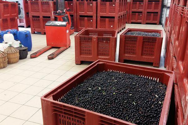 La récoltes des Olives de Nyons, la fameuse tanche...
