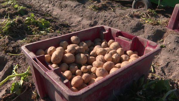 Laurent n'a pour le moment pu vendre que 60% de ses premières pommes de terre primeur.