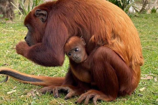 Un singe hurleur roux est né au parc Planète Sauvage, le 16 février 2021