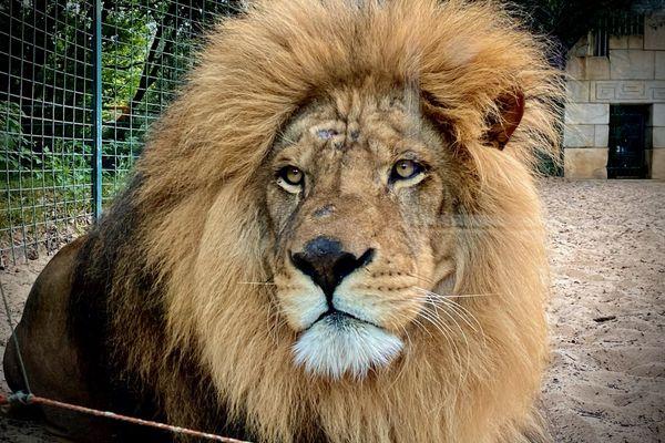 Le lion Masaï nouveau pensionnaire du zoo de la Palmyre.
