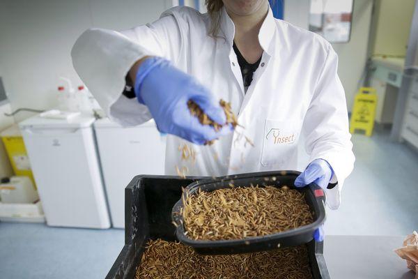 Les larves de Molitor, un petit scarabée, sont transformées en farines à destination de l'alimentation animale.