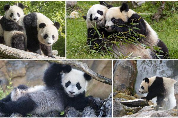 Yuan Meng en compagnie de sa mère. Le bébé panda a bien grandit. Ses activités préférés : manger et faire la sieste.