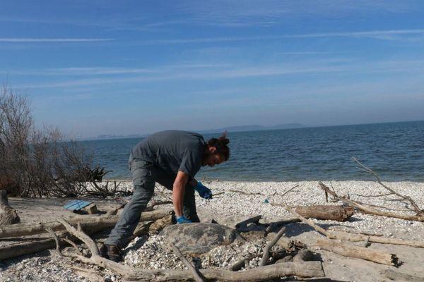 Pablo Liger du GIPREB s'est rendu sur la plage de Jaï examiner le corps de la tortue.