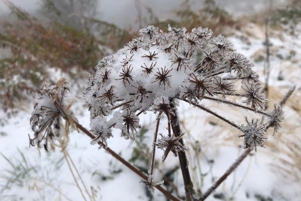 Dans le Cantal, les plantes se recouvrent de neige.