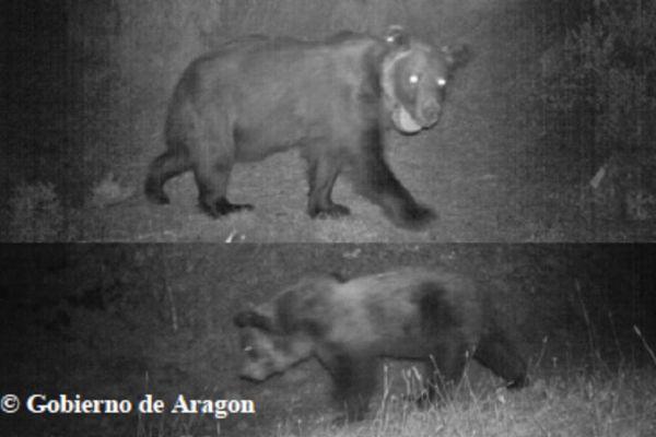 L'Ourse Sarousse, abattue d'un coup de feu au mois de novembre, selon les autorités espagnoles.