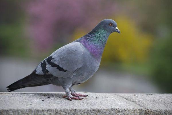 Un pigeon illustration