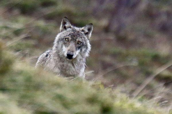 Loup dans les Alpes.