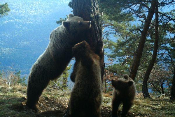 L'ourse Hvala et ses deux oursons