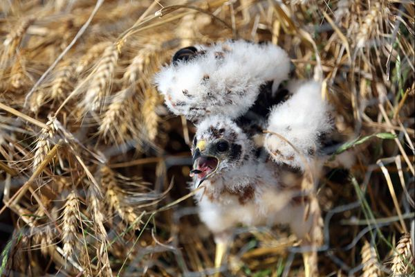 Les busards cendrés se reproduisent et construisent leurs nids dans les champs de céréales.