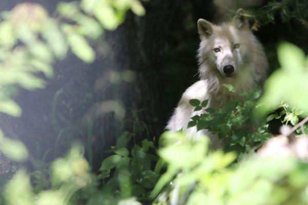Trois loups blancs arctiques ont trouvé refuge au parc Alpha.