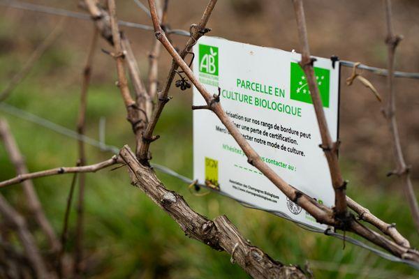 Des vignes en conversion à l'agriculture biologique, dans le Sézannais, qui appartiennent aux frères Collet, en février 2021.