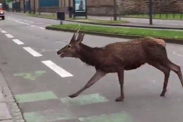 Près de deux heures durant, le cerf a déambulé dans le centre-ville de Rennes