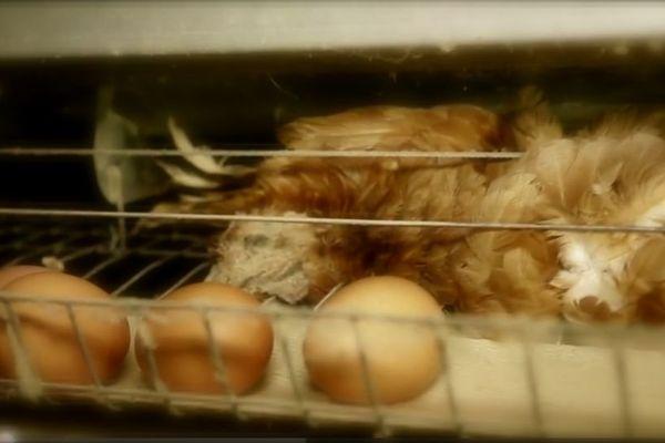 Les conditions de vie terrifiante des poules pondeuses en batterie dénoncées par l'association L214