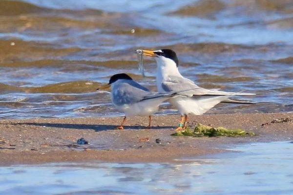 Des sternes naines nichent à même le sable sur la plage de Sérignan, das l'Hérault. Ces oiseaux de mer protégés ont étendu leur territoire ce printemps, grâce à la crise du coronavirus.