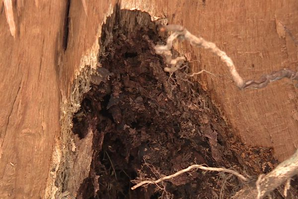 """""""Ils étaient soient creux, soit attaqués par des insectes"""", explique le propriétaire"""