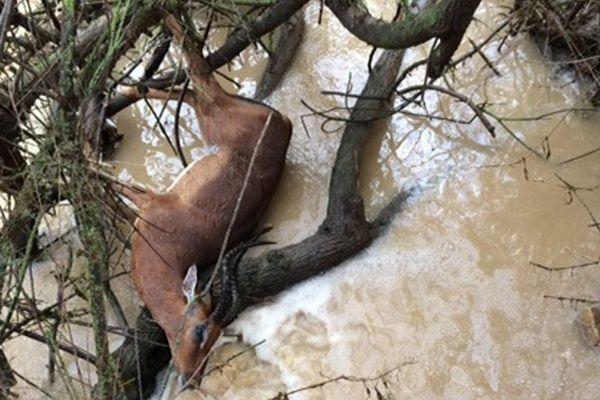 Un impala retrouvé mort dans les branchages à la réserve africaine de Sigean après les inondations novembre 2014