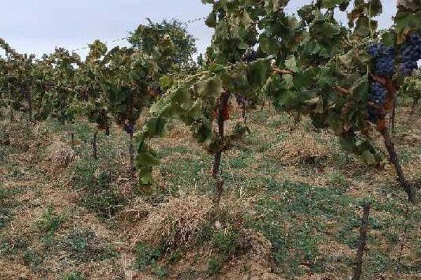 Plus de 3000 pieds de grenache noir sont détruits à quelques jours de la récolte.