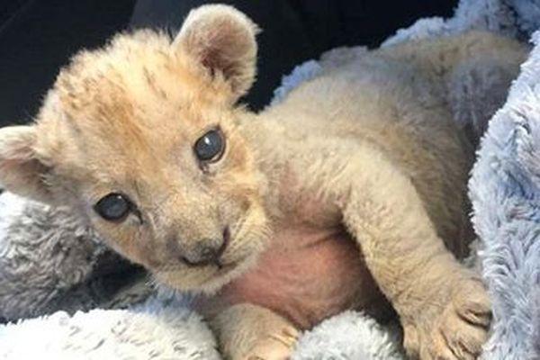 Le félin âgé de deux mois tout au plus ne fait que quelques kilos. Une association spécialisée dans le recueil des animaux sauvages l'a pris en charge.