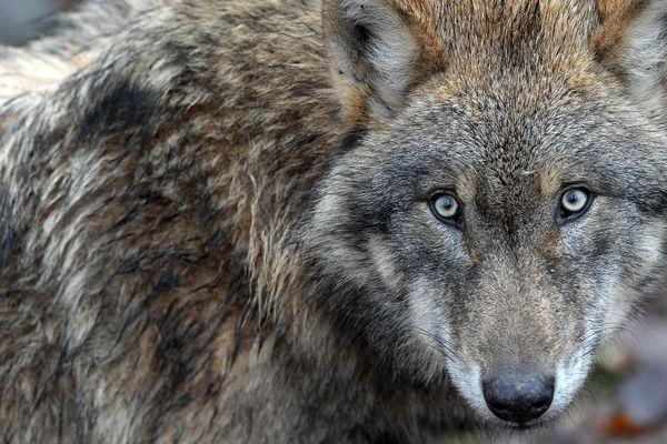 La présence du loup en Isère inquiète certains chasseurs.