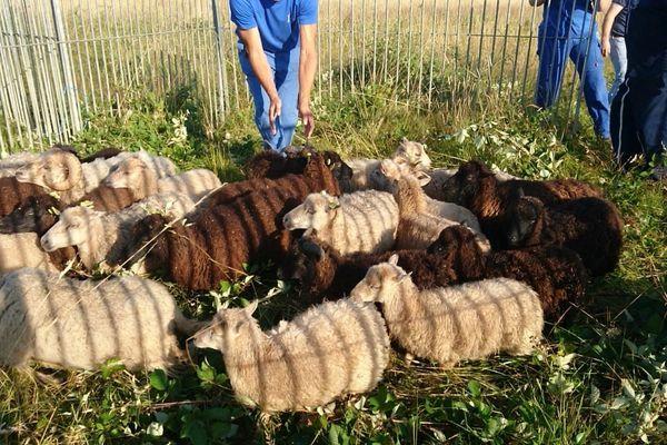 Abandonnée dans des pâtures, autour du centre pénitentiaire de Moulins-Yzeure, dans l'Allier, une partie de la centaine de moutons d'Ouessant qui a été récupérée mercredi 4 juillet, par la Fondation Brigitte Bardot.