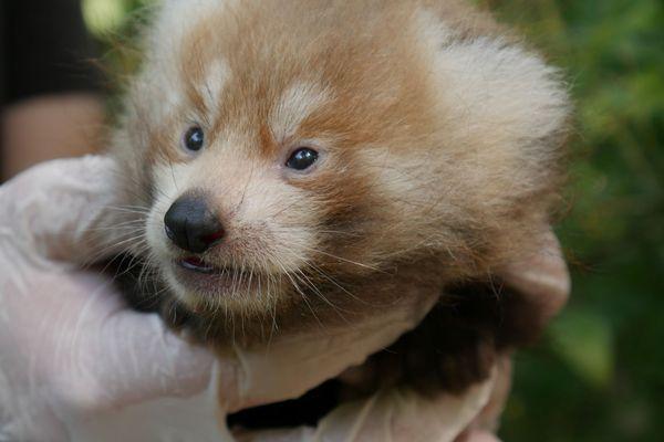 Deux bébés pandas roux sont venus agrandir la famille Biotropica le 12 juin 2021.