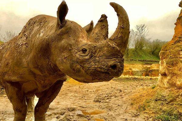 Kata Kata le rhinocéros du Bioparc de Doué*la-Fontaine est mort
