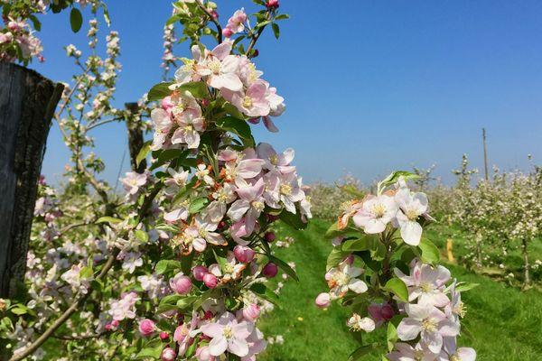 Des pommiers fleuris dans un verger de la Mayenne