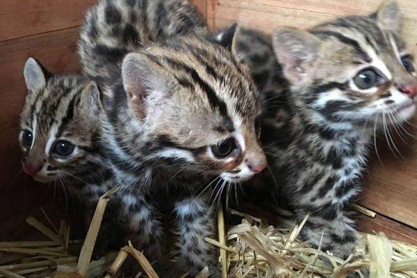 Les trois bébés chats léopards du Bengale nés au Domaine des fauves de Fitilieu