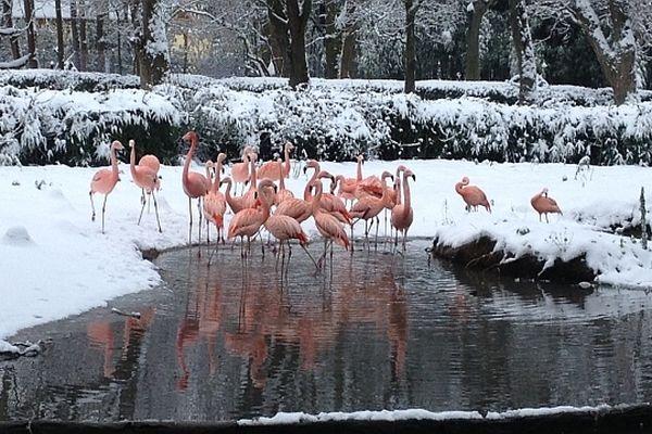 Les flamands roses du parc zoologique de Touroparc, à Romanèche-Thorins, en Saône-et-Loire.