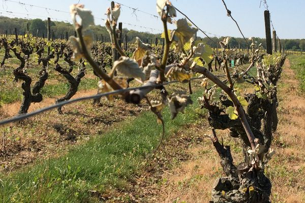Certaines parcelles de vigne sont détruites à plus de 50%;