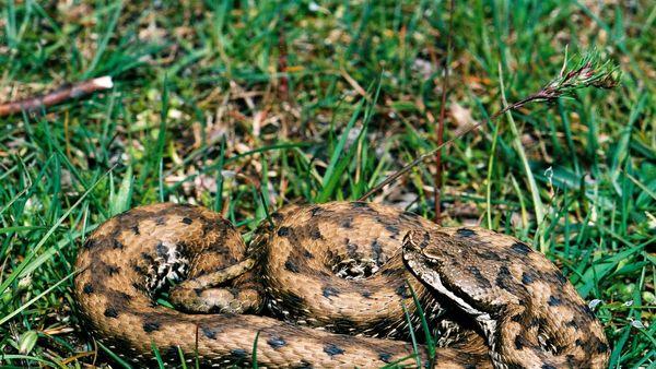 vipère aspic mâle, Causse-Méjean, Lozère