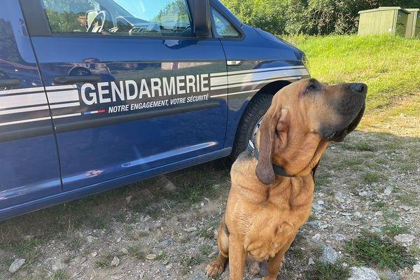 Jupiter, chien Saint Hubert de la gendarmerie spécialisé dans la recherche de personnes - 2021.