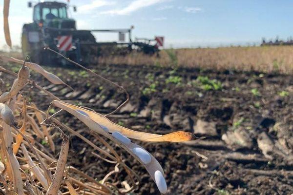 La récolte des haricots se déroule au début de l'automne.
