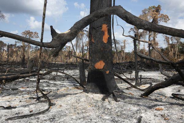 Les restes des arbres et cendres dans un champs de 739 hectares de forêt Amazonienne illégalement brûlée