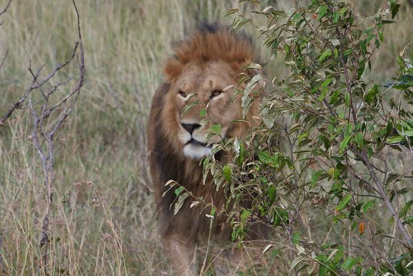 Illustration / Lion kenyan