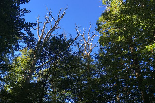 Au coeur de la forêt de Tronçais, certains vieux arbres risquent de s'effondrer.