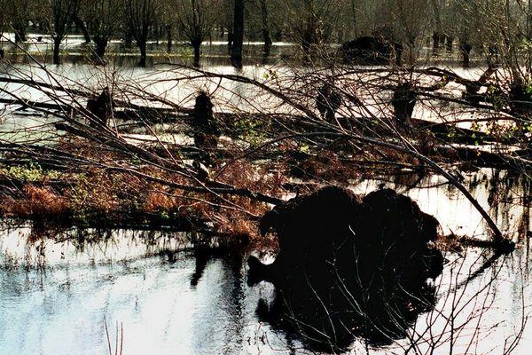 Un an après , le Marais Poitevin porte encore les stigmates de la tempête de 1999