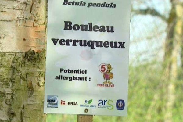 Le Bouleau verruqueux est particulièrement responsable des allergies actuellement