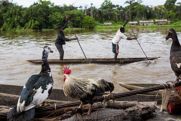 La vie à bord du bateau JCMServices (JésusChrist Merveilleux Services) et sur la rive du fleuve après Mbandaka, 100 km avant Lisala. Les gens du village viennent vendre crocodiles (25 dollars), poulets, canards, et acheter des marchandises.  © Pascal Maitre / Cosmos / National Geographic Magazine