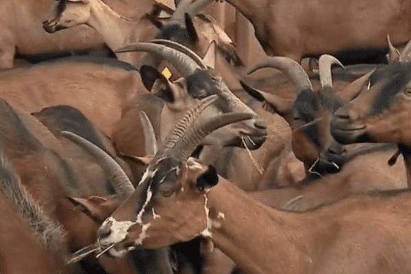 Les animaux de la Chèvrerie du Bois d'Amon sauvés.