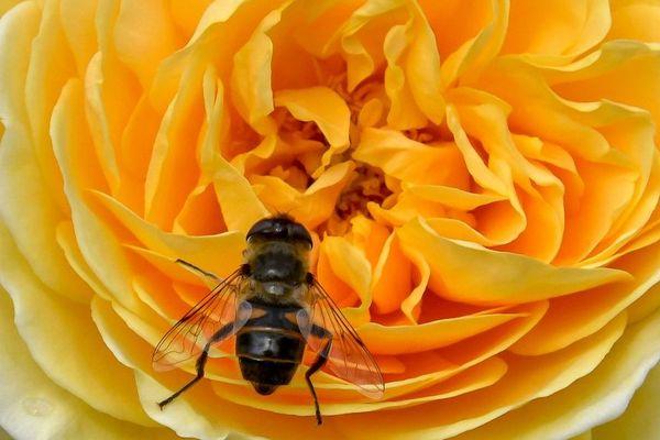 Le nectar des fleurs est composé à 80 % d'eau, une source naturelle qui se tarit avec les fortes chaleurs.