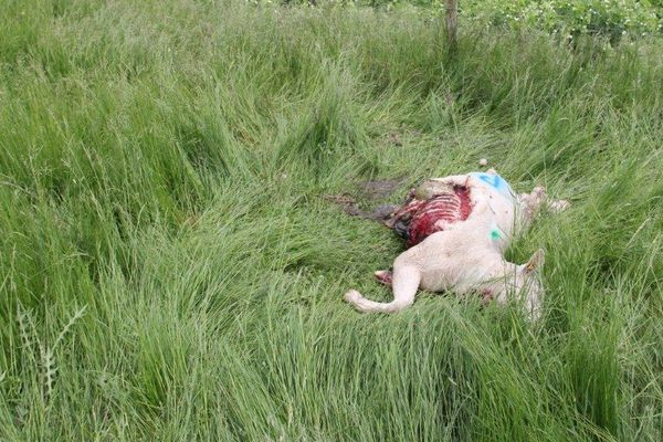 L'une des bêtes attaquées.