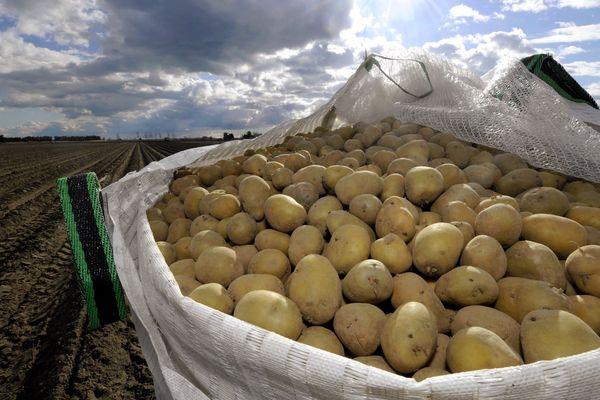 Une récolte de pommes de terre dans un champ - Photo d'illustration