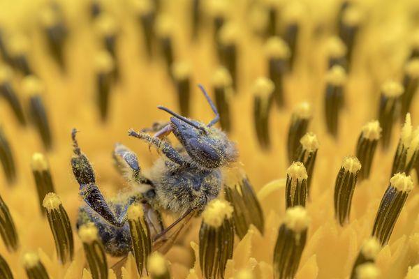 """Les néonicotinoïdes sont également surnommés """"tueurs d'abeilles"""" en raison de leur nocivité pour cet insecte, dont les populations s'effondrent."""