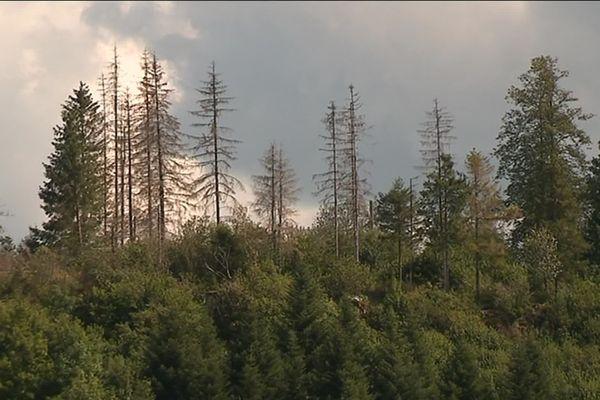 Doubs : les forêts d'épicéas malades à cause des scolytes